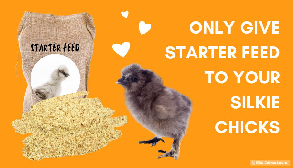 starter feed for baby silkie chickens