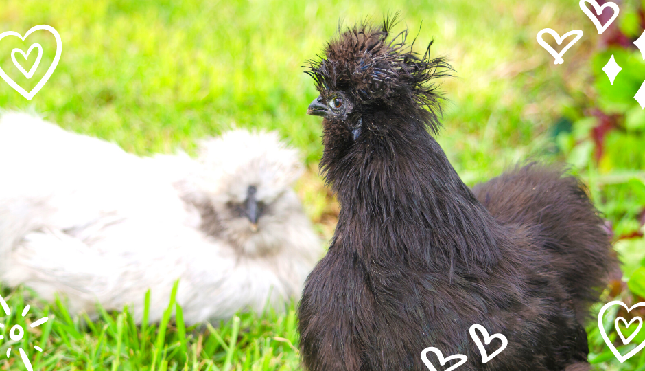 White and black silkie chickens sitting on grass