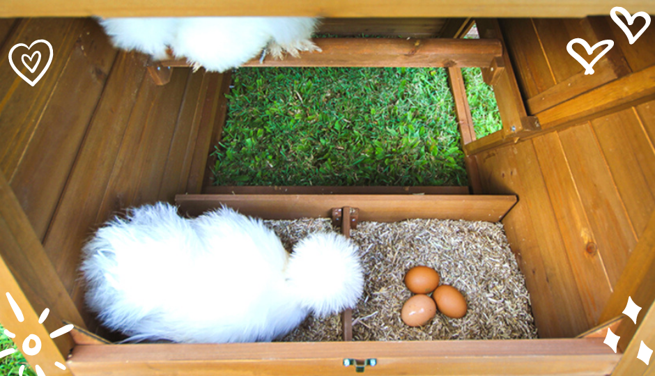 White silkie bantam chicken and her eggs inside a nesting box