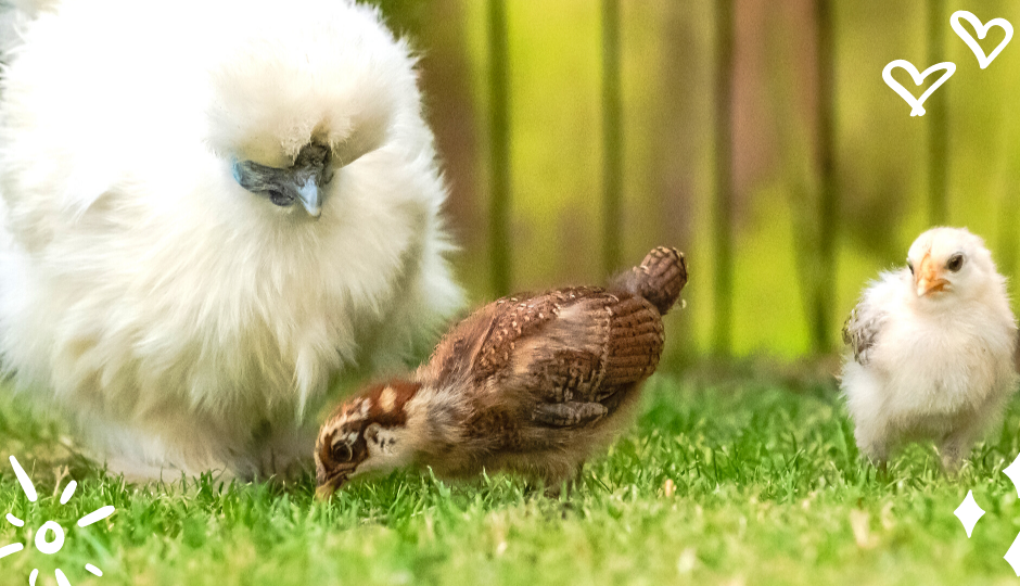 White silkie bantam chicken with baby chicks of other species