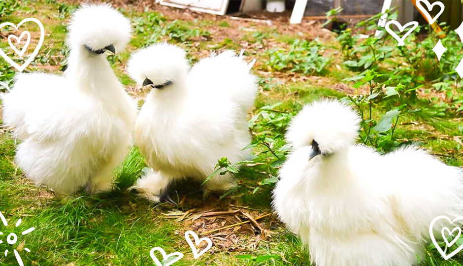 White silkie bantam chickens with faces obscured by fluffy feathers