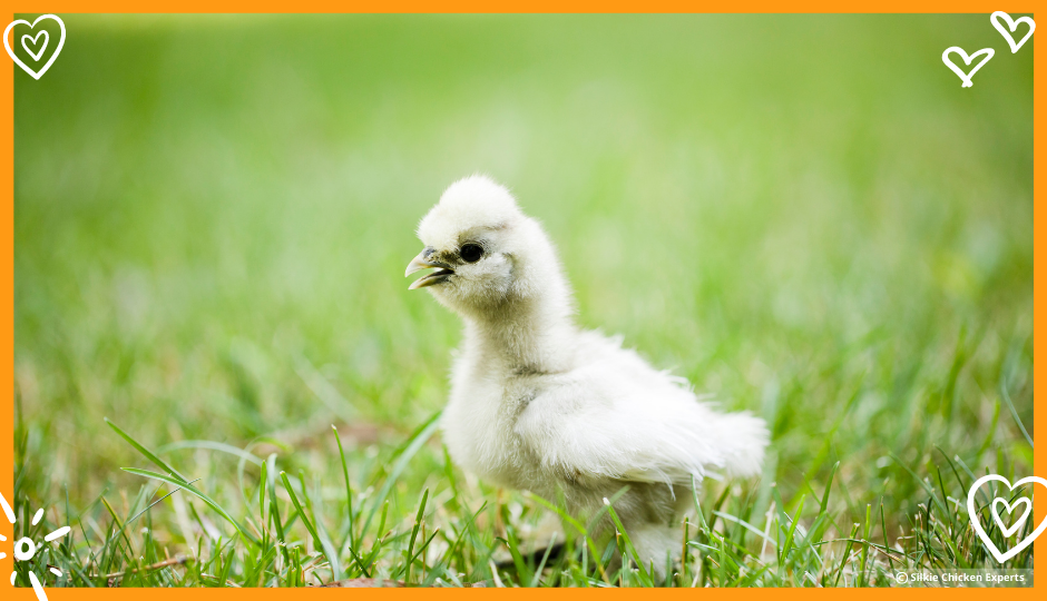 white silkie chick free ranging on grass