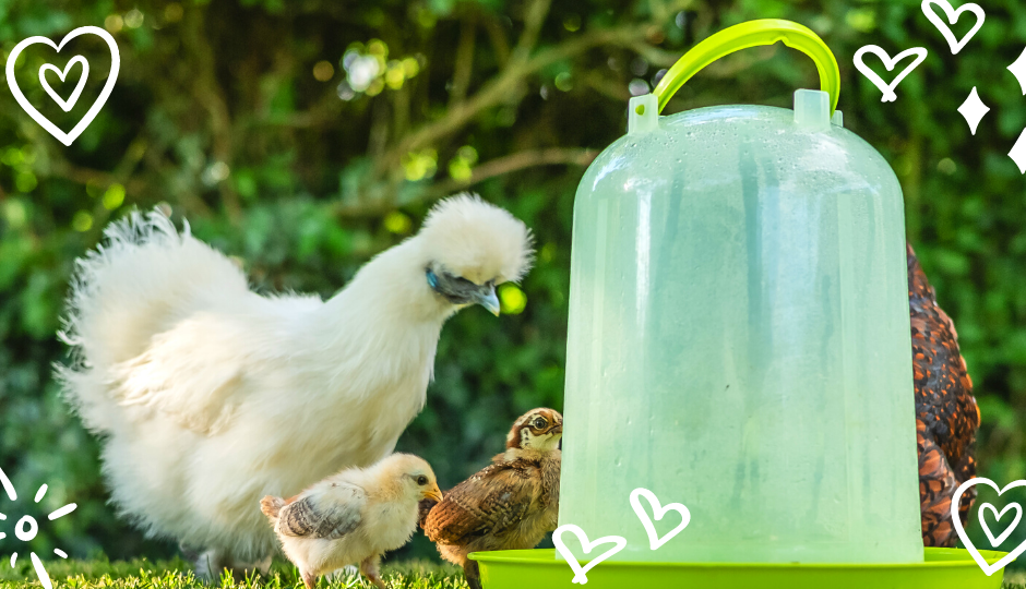 A white silkie chicken drinking water with her chicks