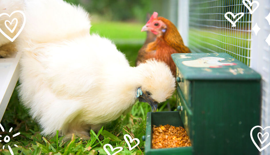 White Silkie chicken eating layer mash inside chicken coop with a jungle fowl chicken