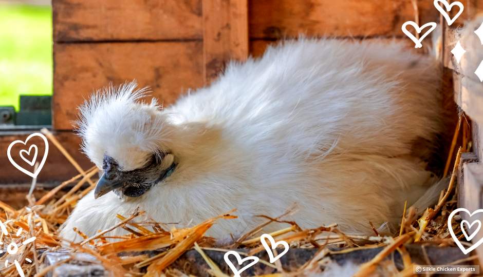white silkie hen sitting on a nesting box inside the chicken coop