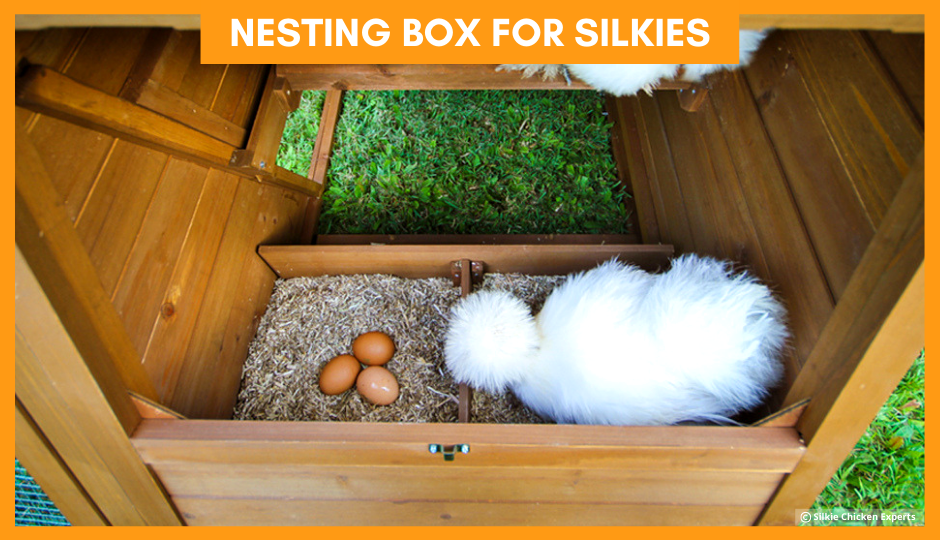 white silkie chicken watching over her eggs in a nesting box