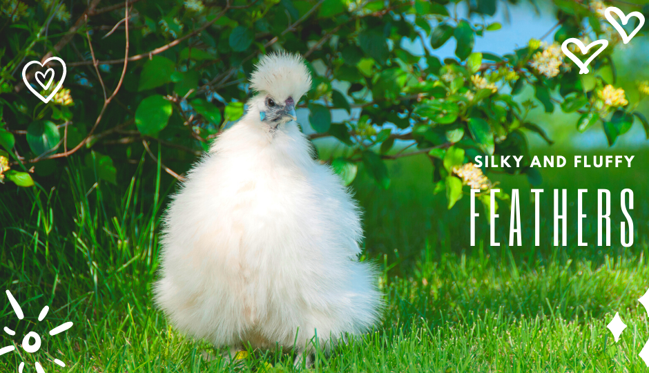 White Silkie Chicken with fluffy feathers free-ranging on grass