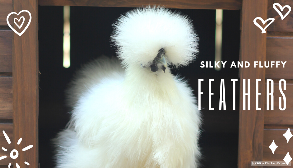 white silkie chicken with fluffy feathers