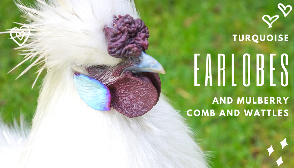white silkie chicken with turquoise earlobes and mulberry comb and wattles