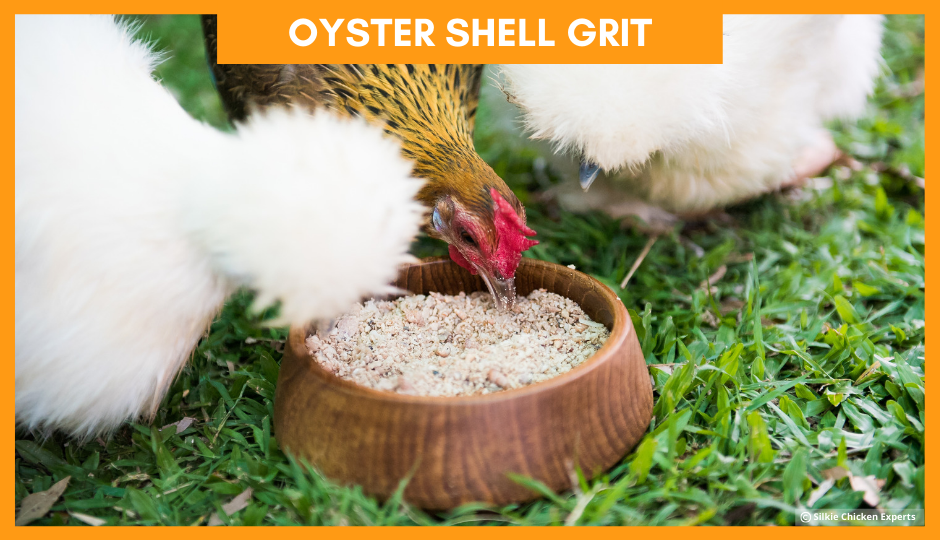 white silkie chicken and jungle fowl eating oyster shell grit