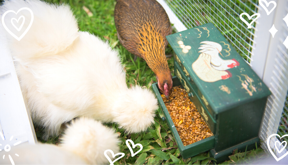 white silkie chicken and jungle fowl eating inside the coop