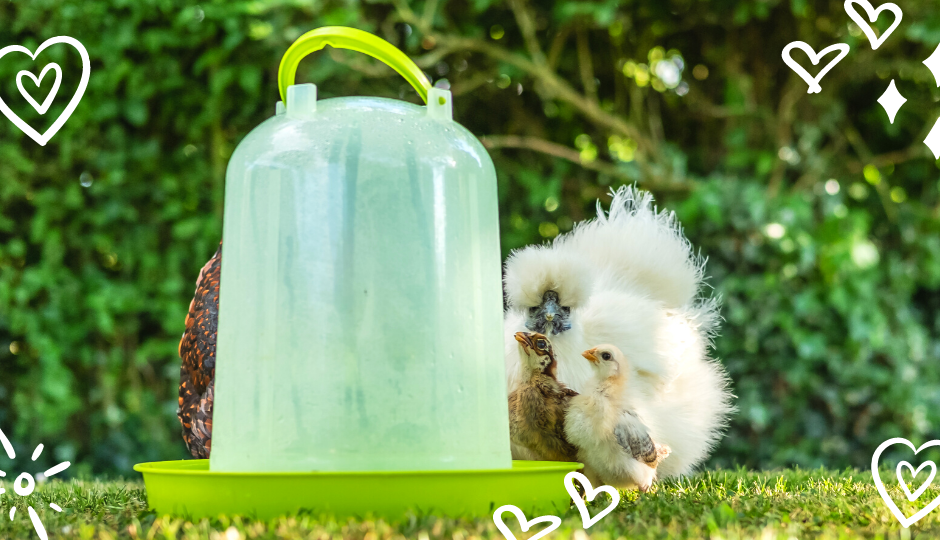 white silkie hen and chicks drinking from a water drinker