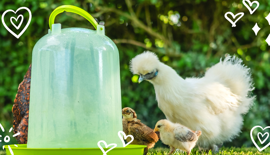 white silkie hen and her chicks drinking water