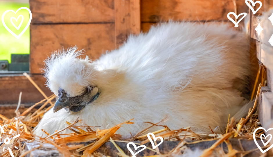 White silkie hen sitting on a clutch of eggs inside the coop