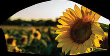 Load image into Gallery viewer, Field of Sunflowers Face Cover with 2 layers and a filter pocket. Includes free filter and adjustable ear clips