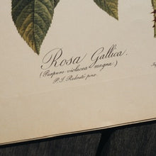 Load image into Gallery viewer, LARGE BOTANICAL BOOK PLATE - ROSA GALLICA