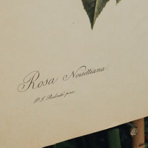 LARGE BOTANICAL BOOK PLATE - ROSA NOISETTIANA
