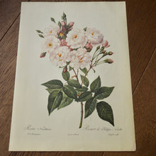 Load image into Gallery viewer, LARGE BOTANICAL BOOK PLATE - ROSA NOISETTIANA