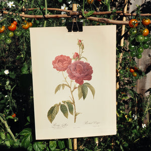 LARGE BOTANICAL BOOK PLATE - ROSA GALLICA