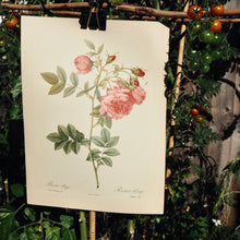 Load image into Gallery viewer, Rose botanical book plate
