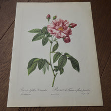 Load image into Gallery viewer, LARGE BOTANICAL BOOK PLATE - ROSA RAPA