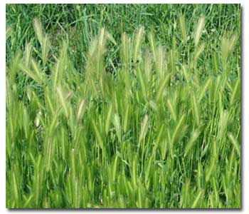 Foxtail Grasses