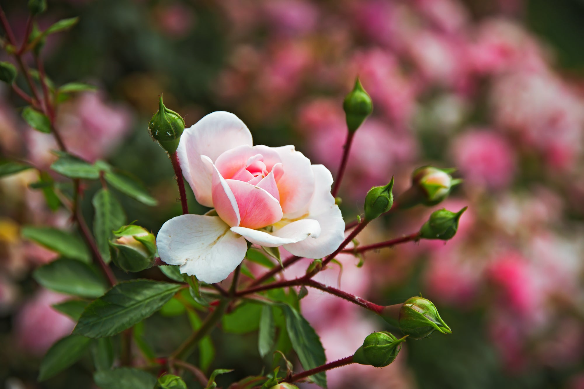 Preparing Roses for Late Season Blooms