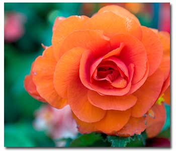 Beautiful-Begonias