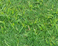 Crabgrass growing amidst other grass