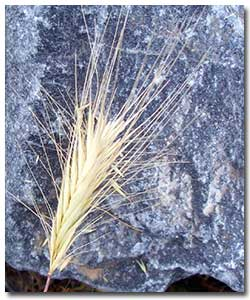 Controlling foxtails in your landscape