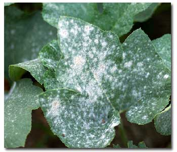 Life Cycle and Management of Powdery Mildew