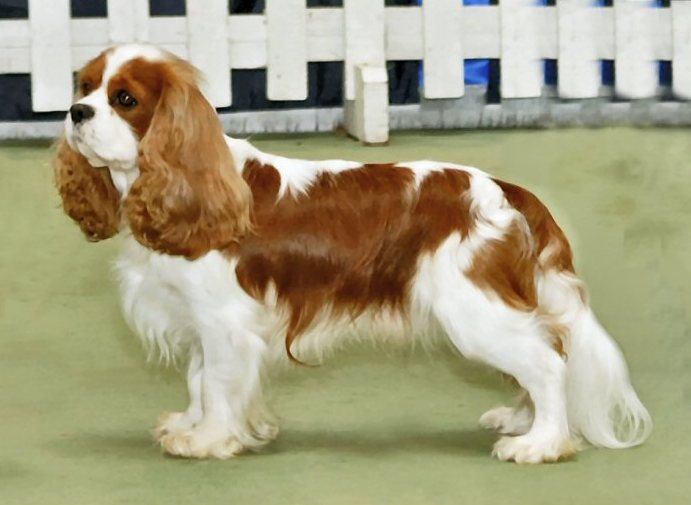 Dog Files: Cavalier King Charles Spaniel