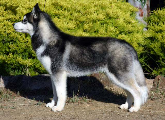 Dog Files: Siberian Husky