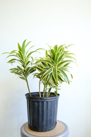 Open image in slideshow, Dracaena reflexa variegata 'Song of India'