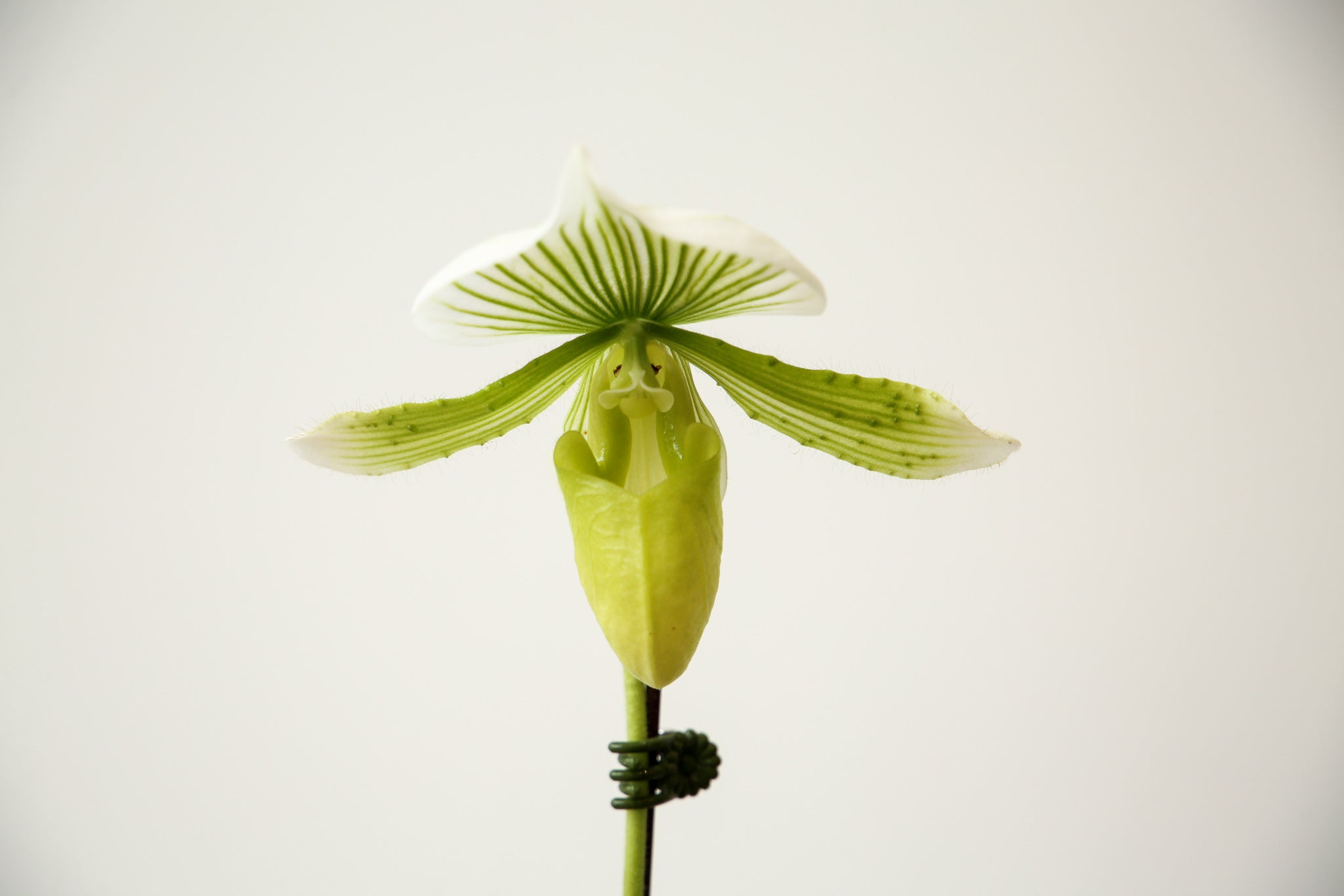 Paphiopedilum Hilo Green Mountain 'Lady Slipper Orchid'