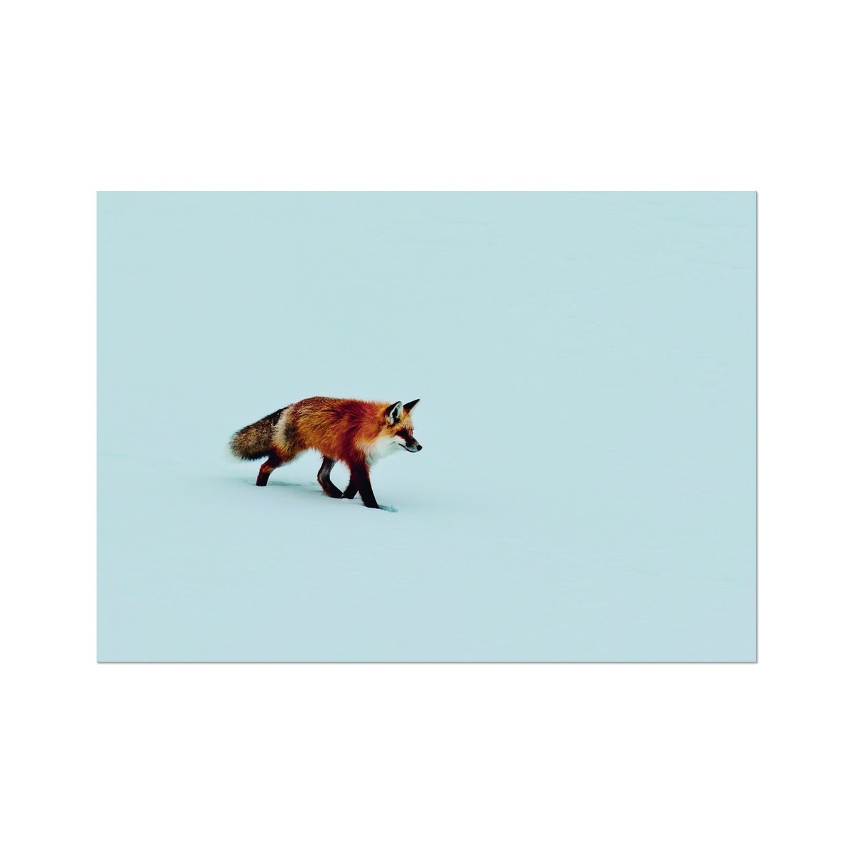 A Red Fox Prowls in Yellowstone National Park - Framed Poster