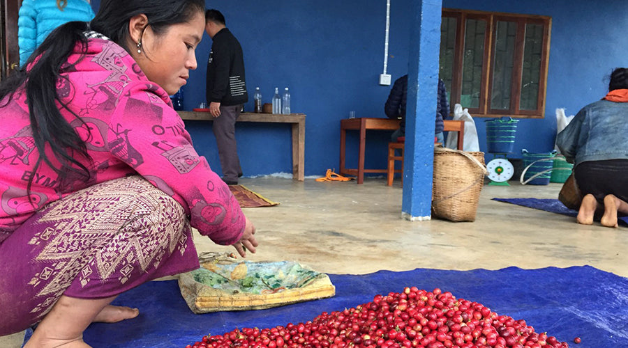 The Growth of Specialty Coffee in Northern Laos