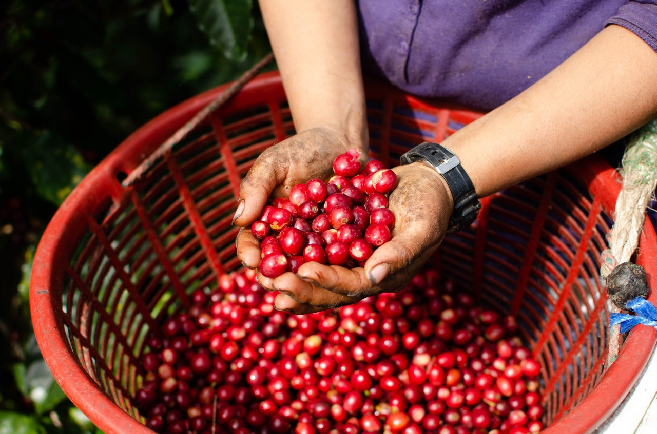 woman holding basket with coffee cherries