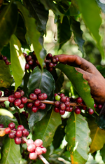 Load image into Gallery viewer, Best Batch | Guatemala - cafeadvocate