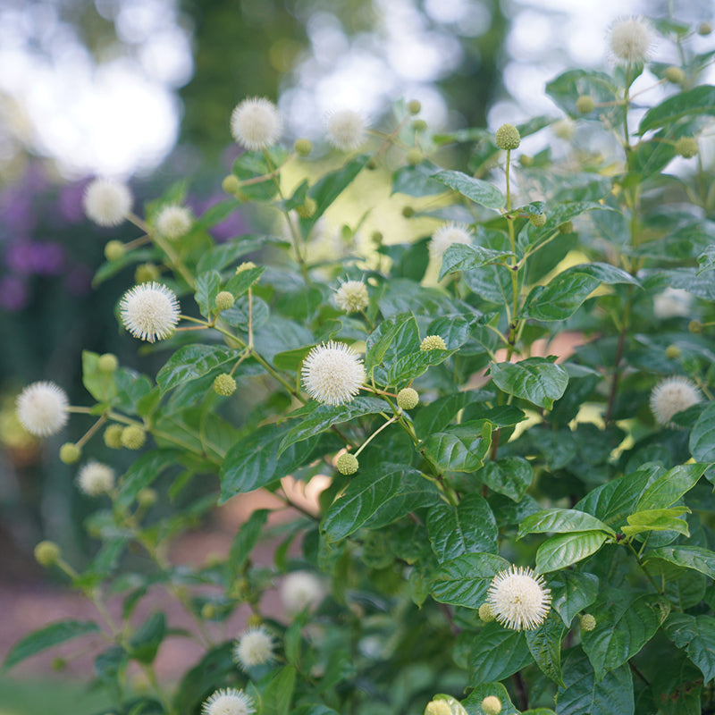 Shrub with whimsical, ball shaped white flowers