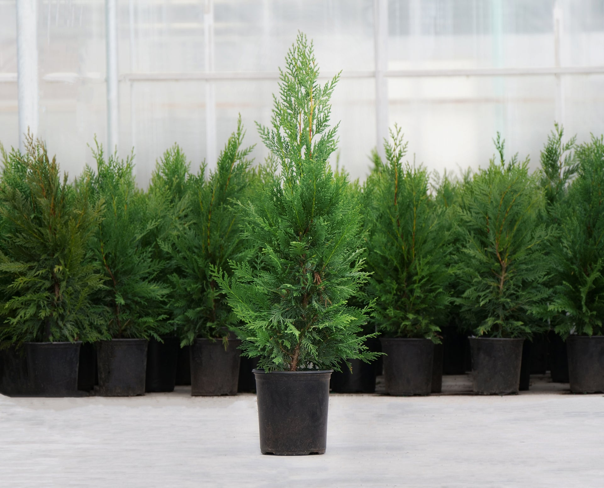 Row of potted arborvitae trees in a greenhouse