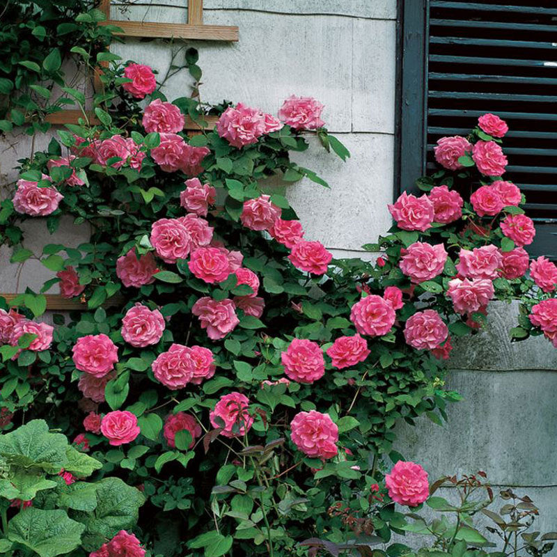 Pink vine roses climbing the wall of a house