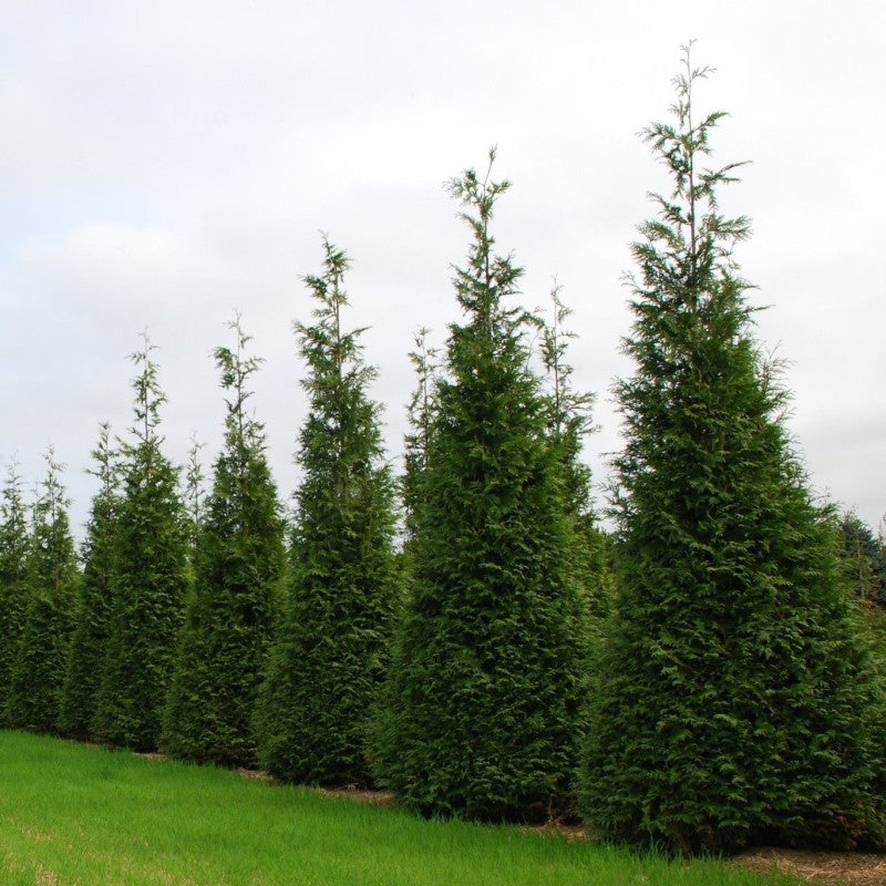 Tall line of pyramid shaped tree hedges