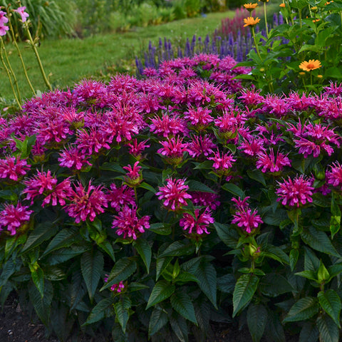 Monarda Pardon My Purple is one of the most vivid colored bee balms