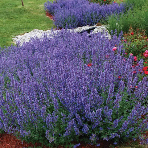 Walker's Low Catmint has months of purple blue flowers and is super easy to grow