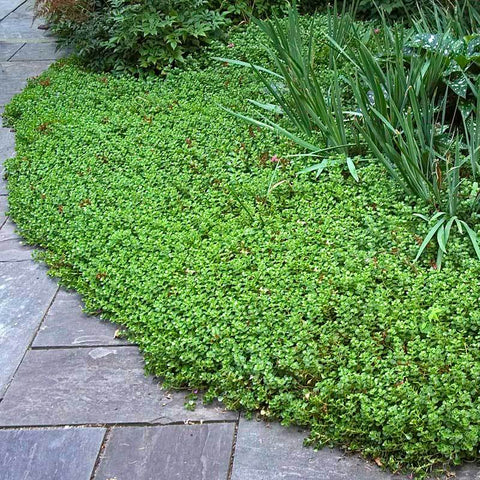 John Creech Stonecrop is simple to maintain for beginners