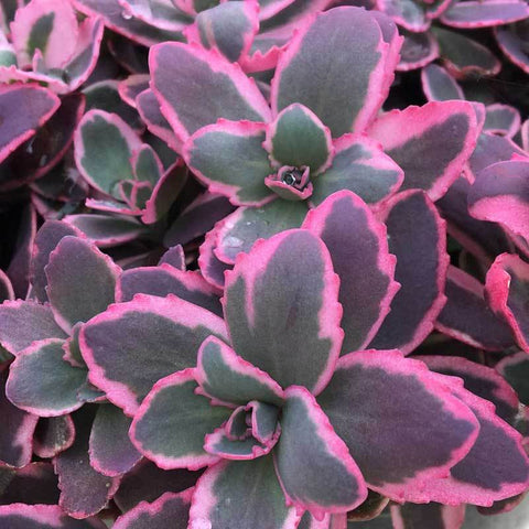 Sunsparkler 'Dream Dazzler' Stonecrop is a new purple and pink edged sedum