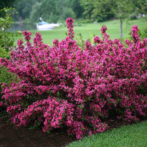 Sonic Bloom Pink Weigela hot pink buds that open to pink funnel shaped blooms in  late spring
