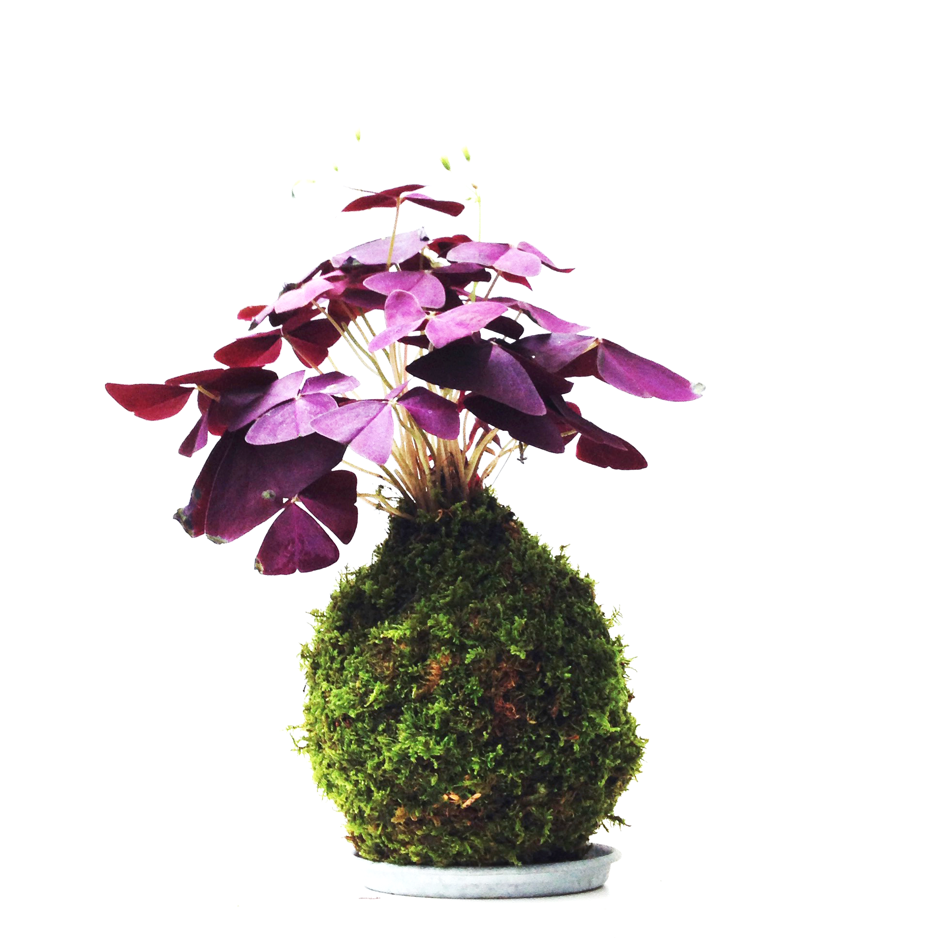 KOKEDAMA OXALIS TRIANGULARIS