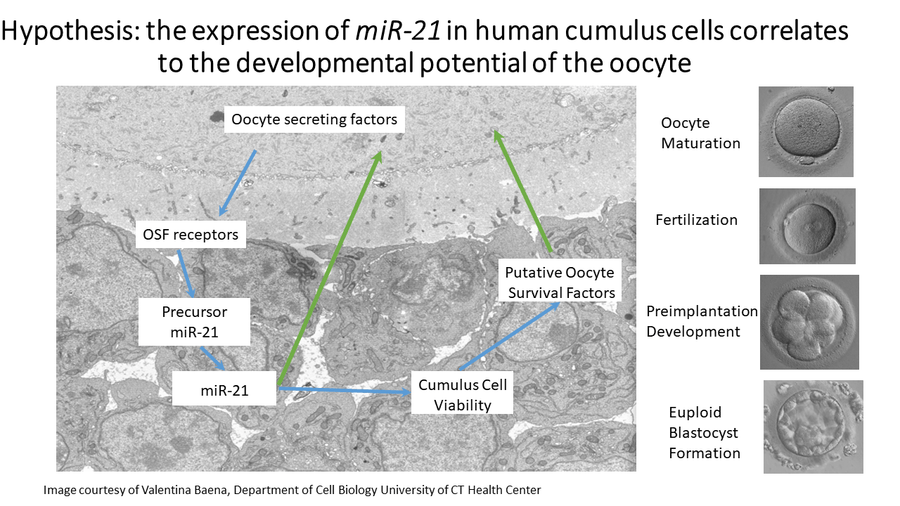 Cumulus Evaluation, Oocyte Competence and MiRNA